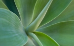 Resplendence in nature - closeup of agave